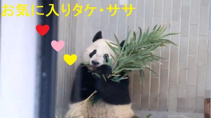 1/21シャンシャン588日齢 (1) お気に入りタケ・ササ🌿シャンシャン、可愛い顔でみんなを癒してます❤ 上野動物園