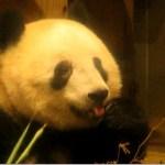 かわいい舌ペロシャンシャン 2019.01.11 ABC Panda Movies