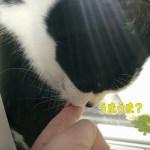 可愛い!猫が指を舐めてくれました♪キャットニップの大きな葉っぱ