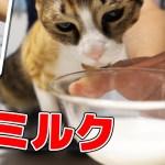 はじめてのミルクを準備中にソワソワする猫がかわいい
