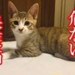 かわいい子猫が突然お家にやってきた-その時、先住猫達は・・・?!10週間目6-kitten came to our house 71