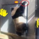 2019/2/3 シャンシャンパンダかわいい601日齢 (2) ♥小庭に行くかとフェイント💦オッと、窓によじ登って😁
