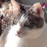 【びっくり!11歳で初めて鏡に映った自分の顔を見た猫】The cat was surprised to see his face in the mirror for the first time.