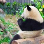 2019/2/13 シャンシャンパンダかわいい611日齢 (1) ♥ いっちょうけんめい丸太の皮を剥いたので座り心地バツグンでしゅ