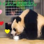 シャンシャンのミルクタイムとお姉さん❤愛情溢れる幸せな可愛い瞬間!上野動物園