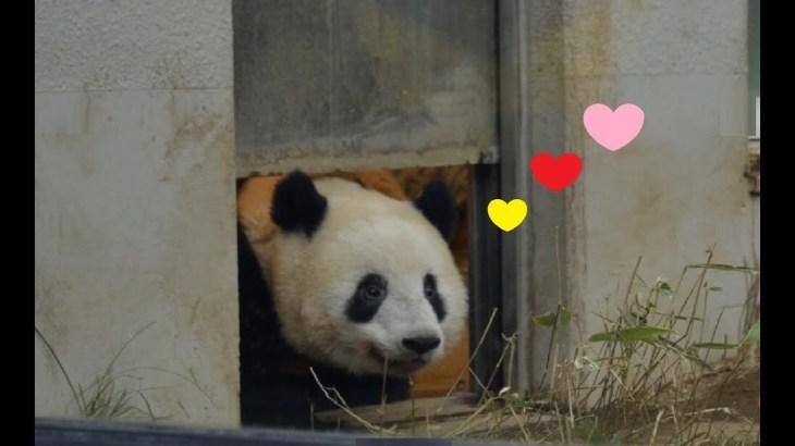 2019/2/12 今日シャンシャンパンダかわいい610日齢 (2) ♥扉から小庭を覗いてトコトコと出て来たシャンちゃん