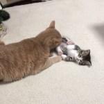 ひのきに寝かしつけられる子猫がかわいい