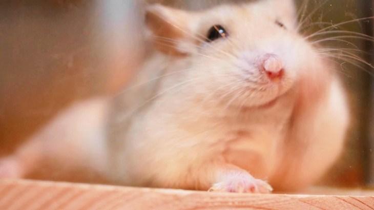 【ハムスター】暴れても可愛いすぎるモワルのあのアピールが復活しました Cute Hamster Generate Electricity