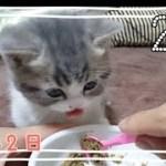 【離乳食】上手く食べられない子猫がかわいい