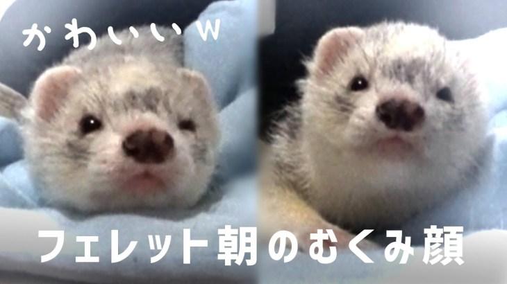 朝イチのフェレットが可愛いすぎる/// – ferret lab #398