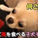 🔴初めて苺を食べる子犬チワワみるく【子犬】【可愛い】【チワワ】【dog】【puppy】【苺】