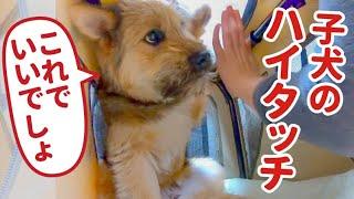 お手がハイタッチになってしまう元野犬がかわいい!