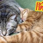 猫が猫の腕で腕枕して寝る可愛い寝顔