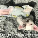 マルチーズわたまる すごい体勢のひなたぼっこがかわいい犬【Maltese Dog】