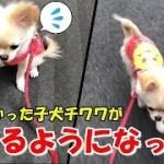 お散歩!動けなかった子犬チワワが自ら歩くようになった!【みるく】【可愛い】【dog】【puppy】