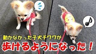 🔴お散歩!動けなかった子犬チワワが自ら歩くようになった!【みるく】【可愛い】【dog】【puppy】