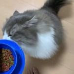 猫がご飯を食べる時の音がすごい