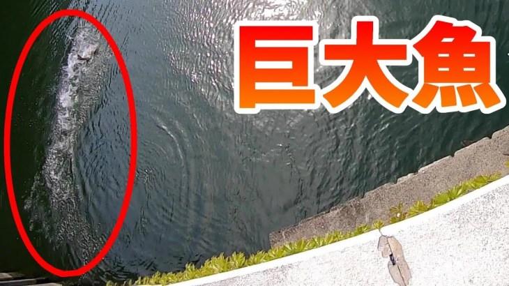 住宅街のドブ川ですごい大物(巨大魚)が釣れた!