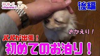 🔴子犬チワワのはじめてのお泊り!-後編-【みるく】【可愛い】【Chihuahua】【dog】【puppy】