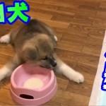 秋田犬らんぷが我が家にやって来た頃の可愛いちびっこ映像総集編
