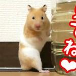 これぞハムスター!って感じの可愛い名場面集まとめ!可愛い癒しおもしろ動物Hamster's funny and cute impressive scene videos the best 12
