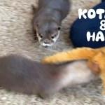 カワウソコタローとハナ くるくる回転で逃げるハナがすごい!追いかけっこ Funny Otters Kotaro and Hana Chasing Each Other
