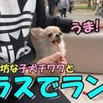 🔴子犬チワワと公園にあるテラスでランチ!【みるく】【可愛い】【dog】【puppy】