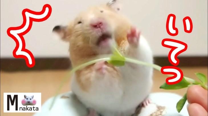 ハムスターの最高に可愛い名場面まとめ動画!可愛い癒しおもしろ動物Hamster's funny and cute impressive scene videos