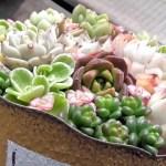 【多肉植物】小さな苗をで作る可愛い寄せ植え!
