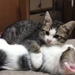お餅を噛んだまま寝落ちする子猫がかわいい