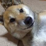 猫の可愛い動きは柴犬も大好きである Shiba Inu Riki loves cat's gesture
