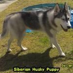 くしゃみに驚き抗議するも井戸に落ちまた抗議にくるハスキー犬 Husky Puppy