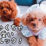 めちゃくちゃ可愛いお洋服が届きました! トイプードルのTaruto&Rasuku