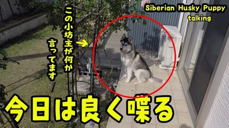 騒がしく良く喋るハスキー犬がおもしろい Husky Puppy
