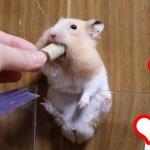 ハムスターが家に帰る途中でおやつを食べると…可愛い癒しおもしろ動物Hamsters eat snacks on their way home