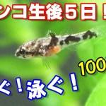 【ドンコ生後5日驚きの光景!】水中を泳ぎ回る!5日で2倍の大きさに!【ドンコ水槽#10】