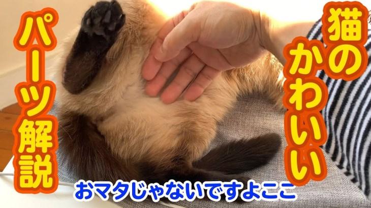 【癒やし猫映像】猫の体の「超可愛い部分」を触ってみた【モモンガっぽい】