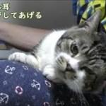 耳をマッサージするとヘニャヘニャになっちゃう猫が可愛い【リキちゃんねる 猫動画】Cat video キジトラ猫との暮らし