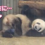 2019/7/30 (2) シャンシャンの可愛い仕草に絶句♡すりすり~ Giant Panda Xiang Xiang