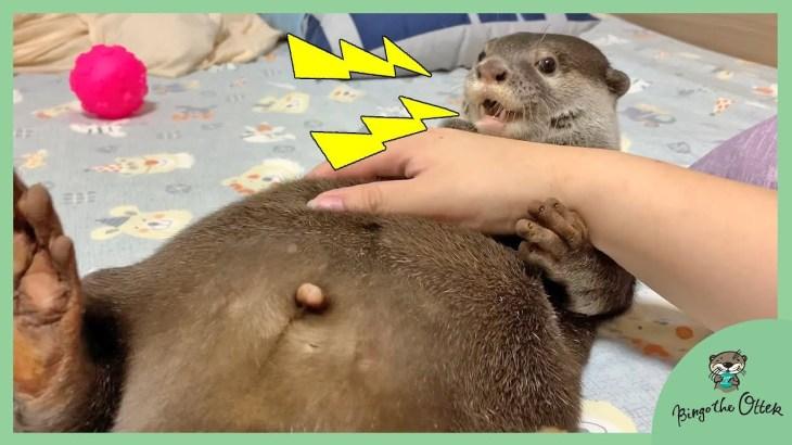 すごい体勢でモフられるカワウソのビンゴ Speed-rubbing Otter Bingo