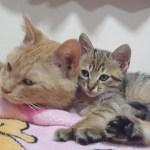 母猫にまんまと騙されたキジトラ子猫がドジっ子かわいい