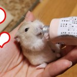 ジャンガリアンハムスターの好きなおやつベスト3!可愛い癒しおもしろ動物The favorite snack best 3 of the Jungarian Hamster!