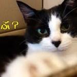 遊びたそうな猫がかわいいので、パニックマウスをあげてみた