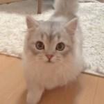 「ボクもいく‼︎」飼い主さんにトコトコついていく子猫が可愛い💕【PECO TV】