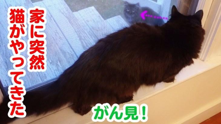 【かわいい】外から来た猫を見たしおちゃんの反応とは?【立ち上がる】