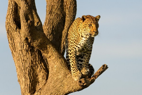 leopard in a tree - choose from two