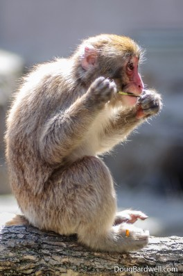 Snow monkey eating