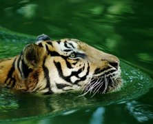 Learn Interesting Facts about the Majestic Royal Bengal Tigers before Booking a Tadoba Accommodation