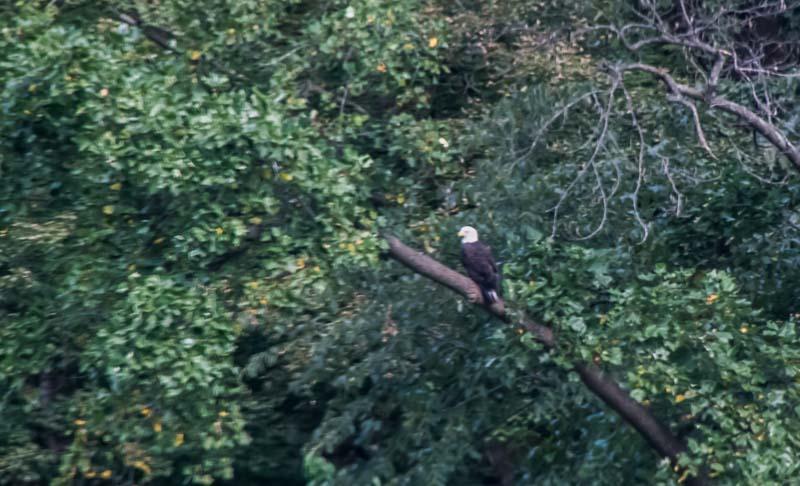 Bald eagle along the Potomac River