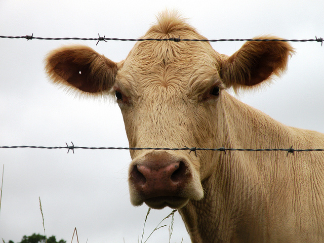 The Sullen Cow